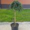 Juniperus kalemljeni