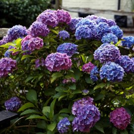 'Hydrangea_macrophylla'_hortensia_in_a_beer_garden_at_Nuthurst_West_Sussex_England