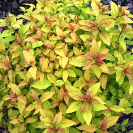 Spirea-Gold-Flame