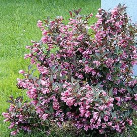 cd3a9499a273acd05eac68fe6c653fde–pink-flowers-shrubs
