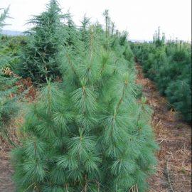 Pinus_wallichiana-2